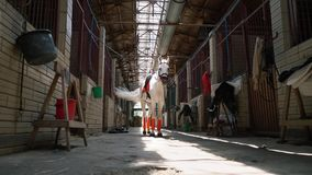 A beautiful white horse in check and with a saddle stands in the middle of the stables. A stallion before riding stock footage