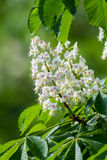 Horse chestnut flower Stock Photo