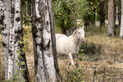 White horse behind birch trees. Stock Images