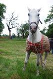 The beautiful white horse eating Stock Photo