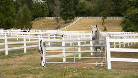 Free Beautiful White Horse Equestrian Stable Outdoor Paddock Royalty Free Stock Photo - 46175375