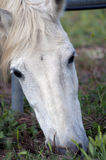 Beautiful White Horse Face 2 Royalty Free Stock Photos