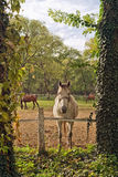 Beautiful White Horse on the Farm ranch Stock Photos
