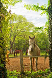 Beautiful White Horse on the Farm ranch Stock Photo