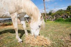 Beautiful White Horse Feeding Stock Photography