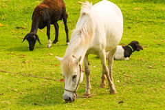 A beautiful white horse feeding in a green pasture with another Stock Images