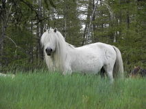 Beautiful white horse in the field. Long mane Royalty Free Stock Image