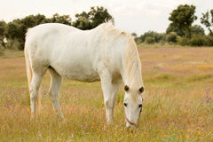 Beautiful white horse grazing in a field full Royalty Free Stock Image