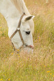 Beautiful white horse grazing in a field full Stock Photos
