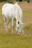 Beautiful white horse grazing in a field full Stock Photo