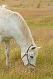 Beautiful white horse grazing in a field full Royalty Free Stock Photography
