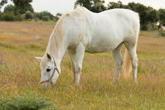 Beautiful white horse grazing in a field full Stock Images