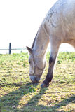Beautiful white horse grazing on grass Royalty Free Stock Images