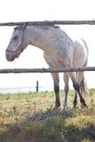 Beautiful white horse grazing on grass Stock Photo