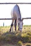 Beautiful white horse grazing on grass Stock Photos