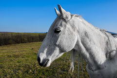 Beautiful white horse grazing in a meadow.  Royalty Free Stock Photos