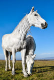 Beautiful white horse grazing in a meadow.  Royalty Free Stock Photo