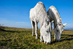 Beautiful white horse grazing in a meadow.  Stock Photo