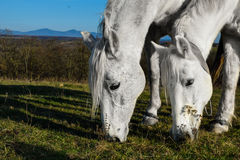 Beautiful white horse grazing in a meadow.  Royalty Free Stock Photography