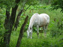 Beautiful white horse grazing on pasture. royalty free stock photography
