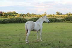 Beautiful White horse in green land royalty free stock photos