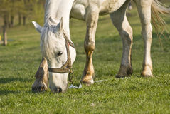 The beautiful white horse on a green meadow Royalty Free Stock Image