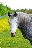 Beautiful white horse Royalty Free Stock Photos