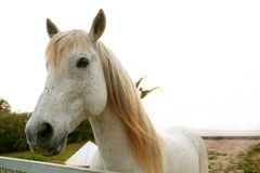 Beautiful white horse looking to camera Stock Photos