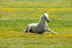 Beautiful white horse Stock Photos