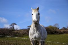 Beautiful white horse, mare, behind bardbed wire fence on green hillside, blue sky Stock Photos