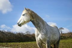 Beautiful white horse, mare, behind bardbed wire fence on green hillside, blue sky Stock Photo