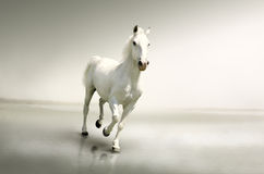 Beautiful white horse in motion stock photo