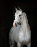 Beautiful white horse royalty free stock photo