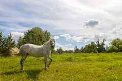 Beautiful  white horse on pasture with green grass Stock Images