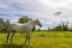 Beautiful  white horse on pasture with green grass Royalty Free Stock Photo