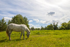 Beautiful  white horse on pasture with green grass Royalty Free Stock Photography