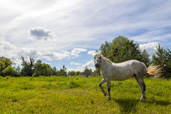 Beautiful white horse on pasture with green grass on bright sunn Stock Photography