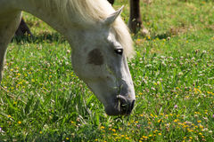 Beautiful white horse. Portrait of a white horse on a flowering a field, farm, close-up Stock Photos