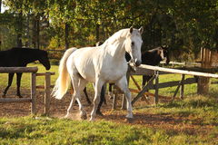 Beautiful white horse running trotting Royalty Free Stock Photo