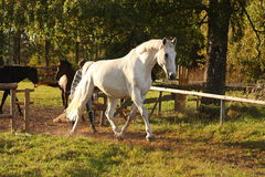 Beautiful white horse running trotting Royalty Free Stock Photos