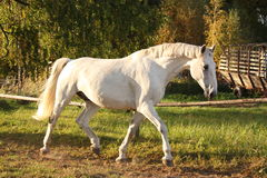Beautiful white horse running trotting Stock Image