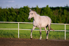 Beautiful white horse runs trot in the paddock royalty free stock photo
