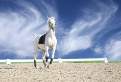 Beautiful white horse in sand arena Royalty Free Stock Photos