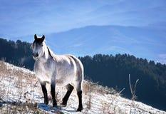The beautiful white horse. Snowy mountain Royalty Free Stock Photo