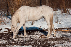 Beautiful white horse in snowy winter forest. Fairy tale. Royalty Free Stock Photography