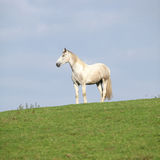 Beautiful white horse standing on horizon. In autumn Royalty Free Stock Images