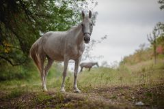 Beautiful white horse royalty free stock images