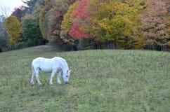 Beautiful White Horse Royalty Free Stock Images