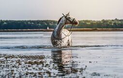 Beautiful white horse in the water