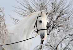 Beautiful white horse in winter forest Royalty Free Stock Image
